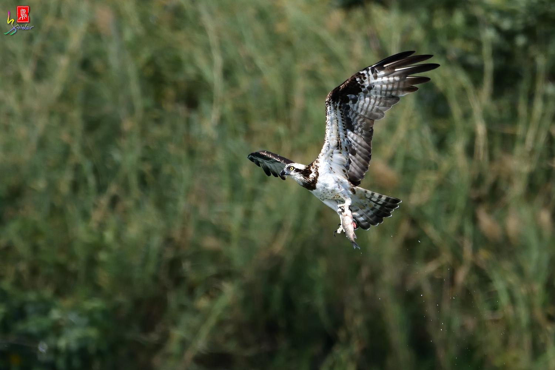 Osprey_9118
