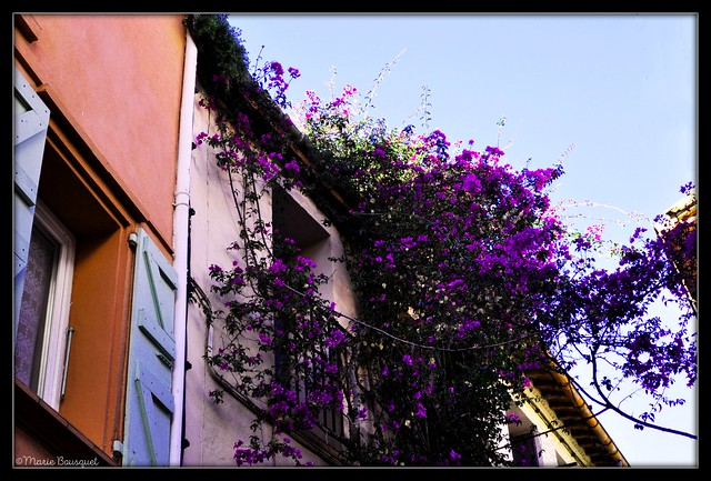 Fleurs mauves dans le ciel bleu de Collioure