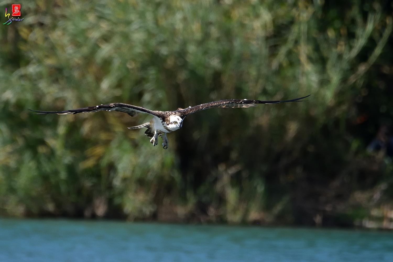 Osprey_9409