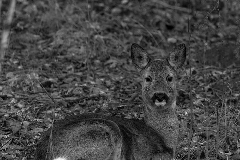 Roe deer resting