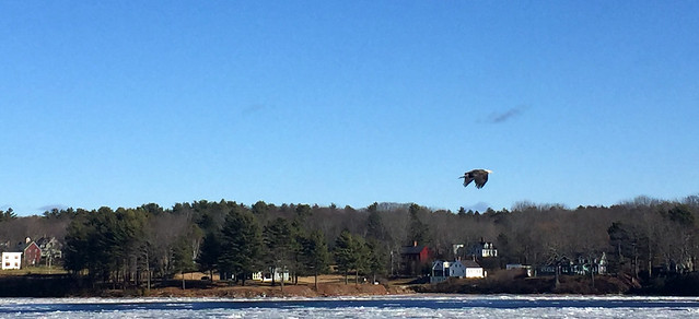 Eagle in Flight ~Kennebec River~Winter Series no. 6
