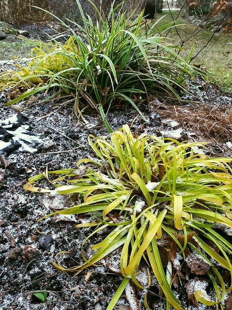 Carex morrowii 'Ice Dance' & Luzula sylvatica 'Solar Flair''