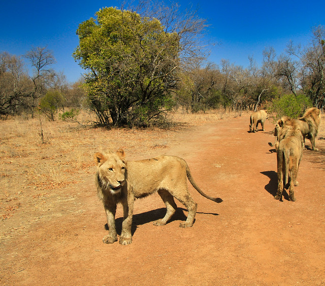 Walking with the Lions in South Africa