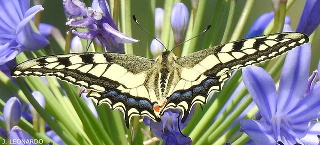 CAUDA-DE-ANDORINHA ( papilio machaon )