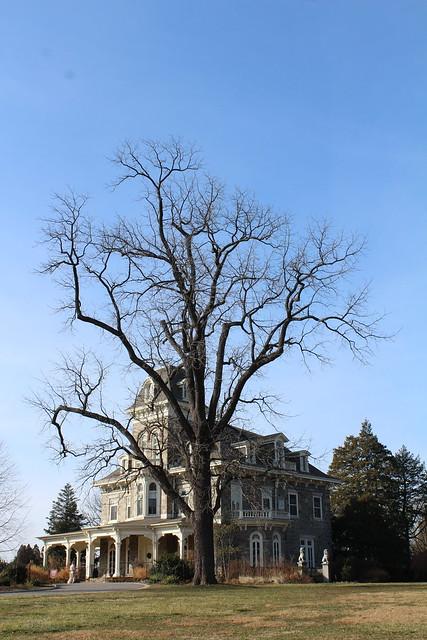 Black Walnut Tree IMG_0811