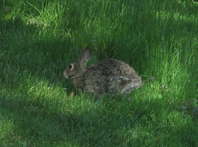 Rabbit IMG_3195