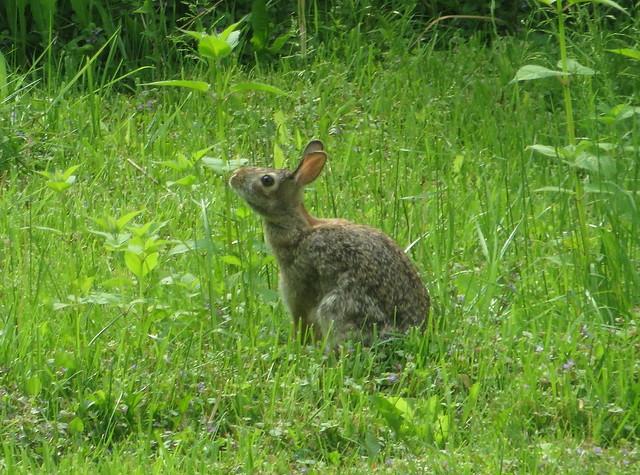 Rabbit IMG_3356