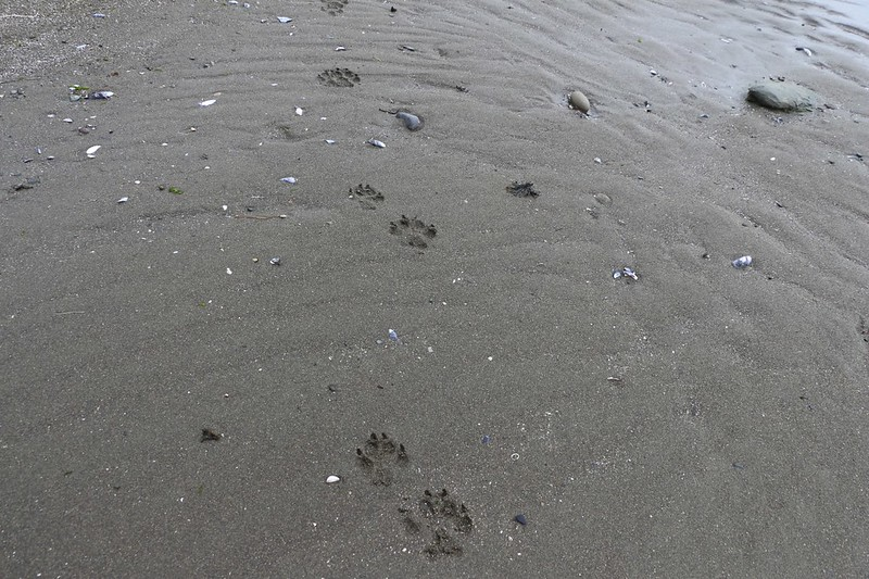 Fresh Bear Tracks on the beach as we continue south toward Cribs Creek
