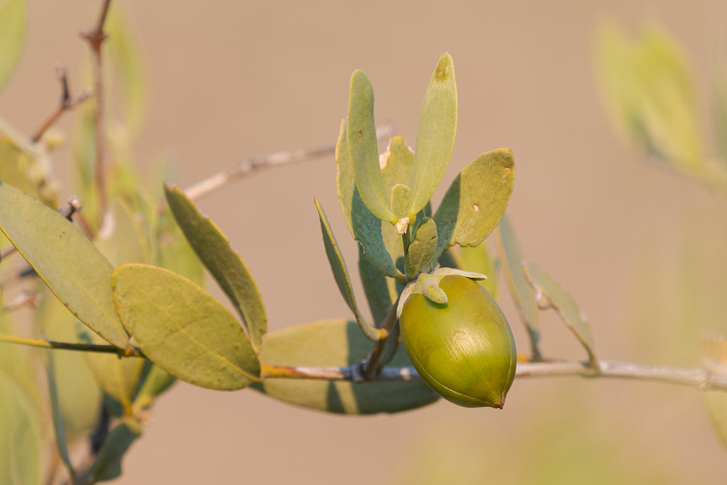 The acorn-looking fruit of the jojoba, taken on the Marcus Landslide Trail in McDowell Sonoran Preserve in Scottsdale, Arizona in June 2019