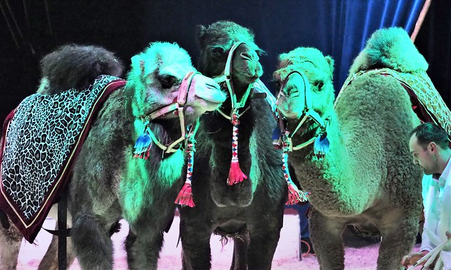 Also Camels in the Christmas Circus Show in Wiesbaden, Germany - December 28, 2019