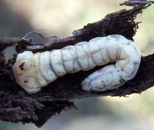 Capnodis tenebricosa larva (1-12-07 Juslibol)