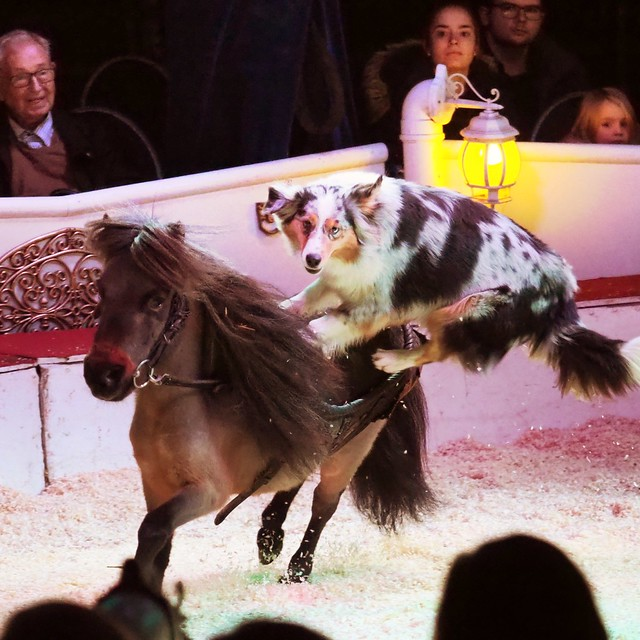 Dog is riding on a Pony during the Christas Circus Show in Wiesbaden-Biebrich - December 28, 2019