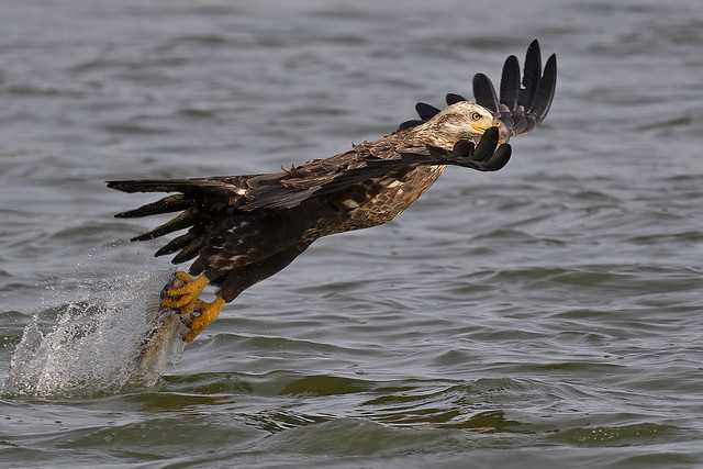 Juvenile Bald Eagle Fish Grab