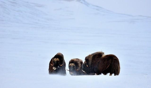 Norway, musk oxen