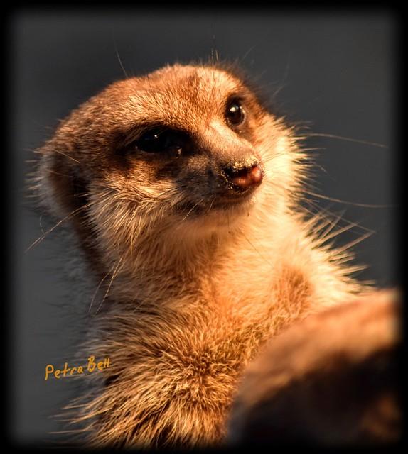Meerkat 💖🐾🐾