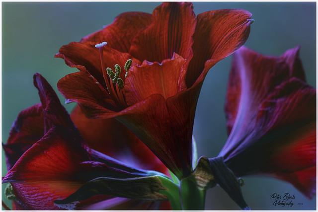 Amaryllis in the frosty Outside