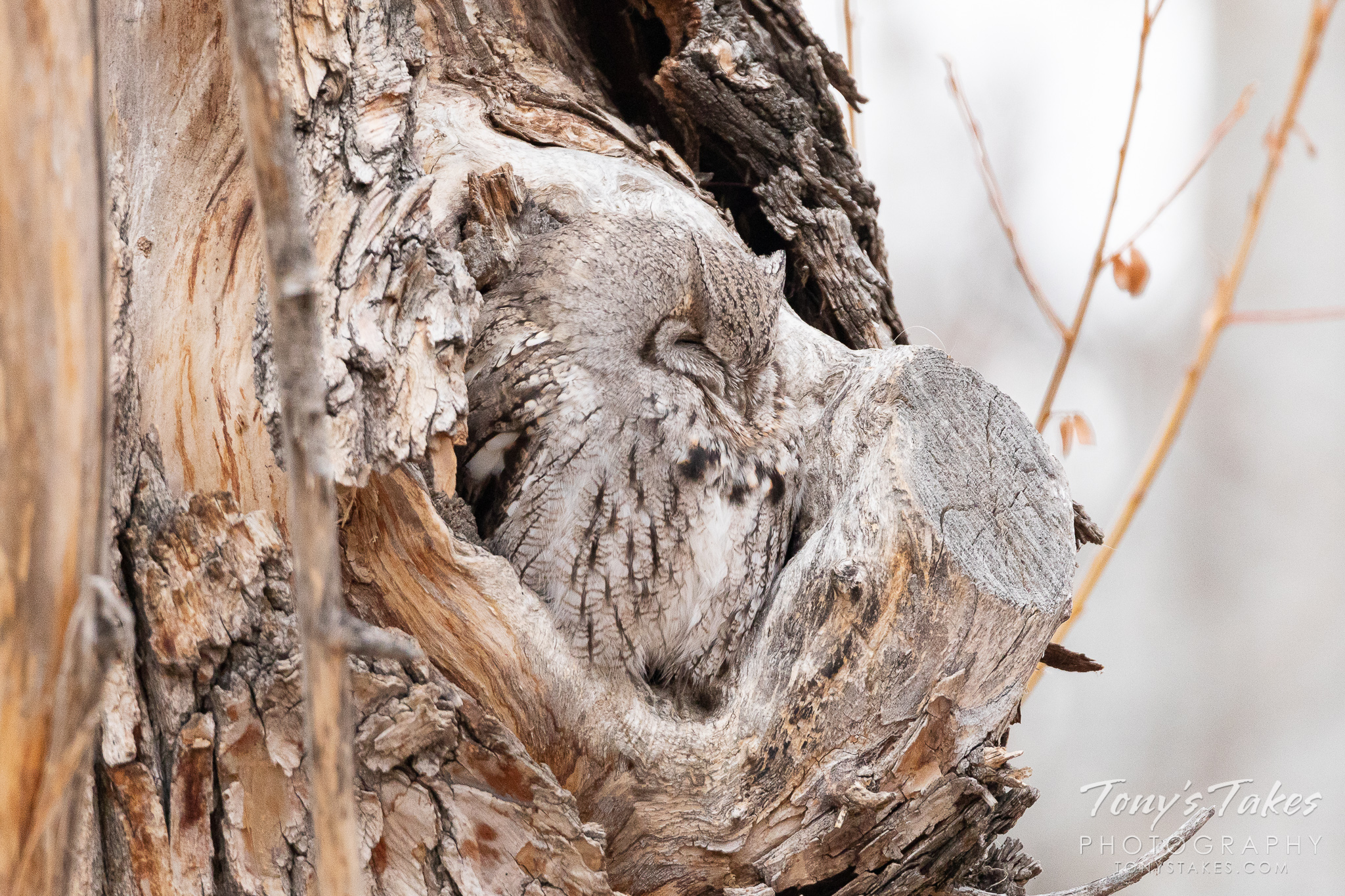 Little screech owl takes a morning nap