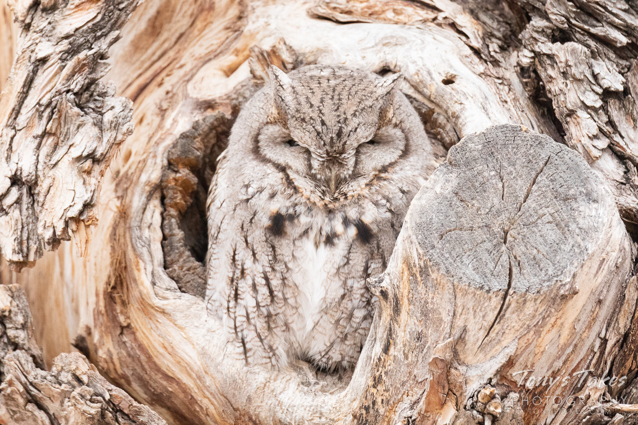 An eastern screech owl takes a nap in the opening to a void in a tree. (© Tony's Takes)