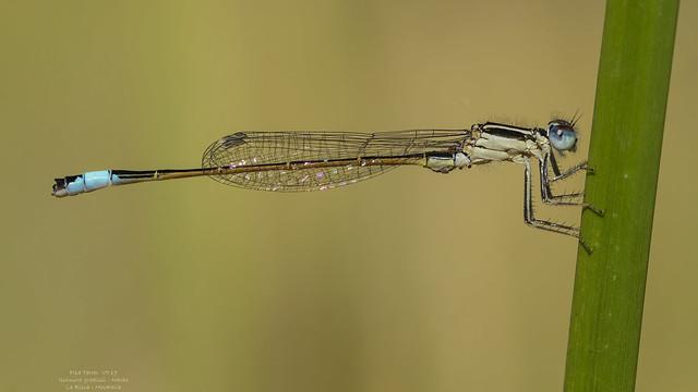 Ischnura graellsii (Rambur, 1842)
