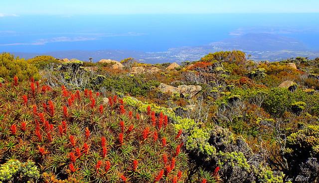 Mount Wellington Wildflowers