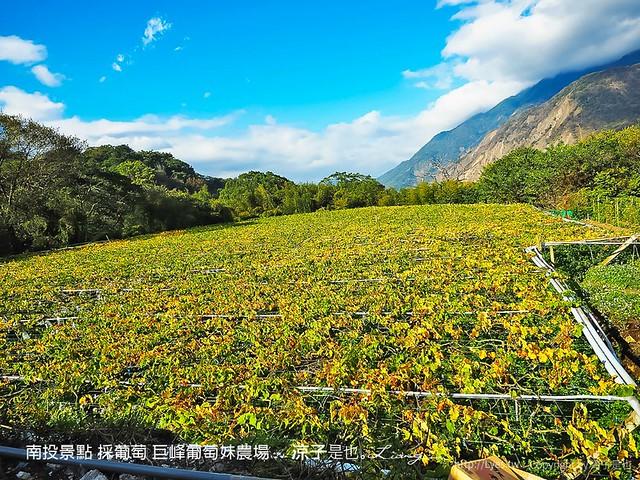 南投景點 採葡萄 巨峰葡萄妹農場