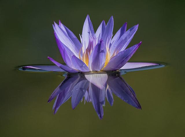 Beauty in the Garden. Water Lily at Fairchild Tropical Botanic Garden.