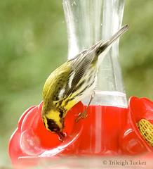 Townsend's Warbler drinking from hummingbird feeder