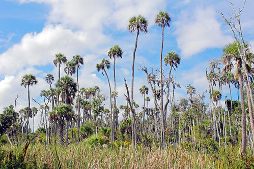 landscape scenery florida palmtrees crystalriver sabalpalm cabbagepalmetto