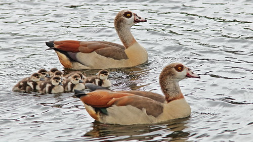 Egyptian Goose pair with goslings 04-20191229