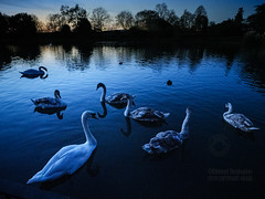 Swan Lake At Gunnersbury Park