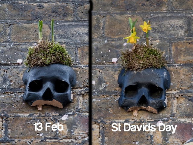 tn_Skull daffodils before after 1