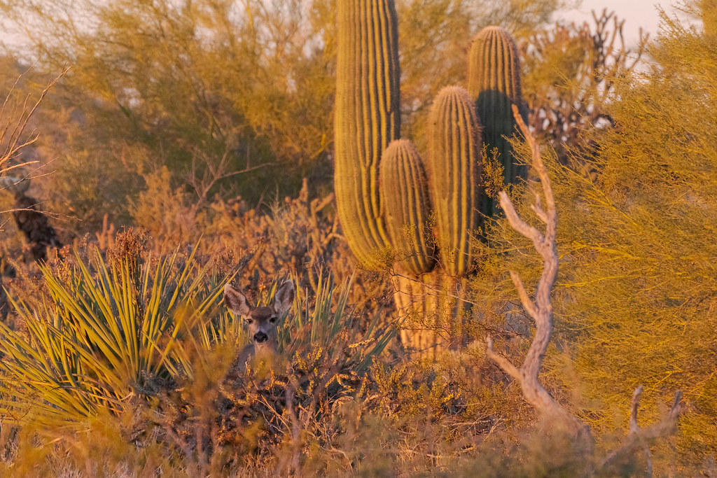 A mule deer is nearly obscured by desert scrub as it stands near a saguaro on the Watershed Trail in McDowell Sonoran Preserve in Scottsdale, Arizona in December 2019