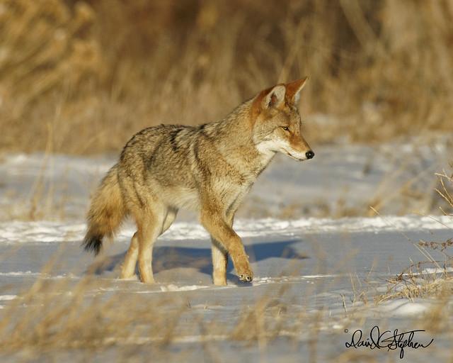 Beautiful, Healthy Coyote