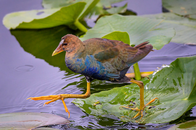 Juvenile American purple gallinule stepping gingerly across the lily pads in Everglades National Park, Florida