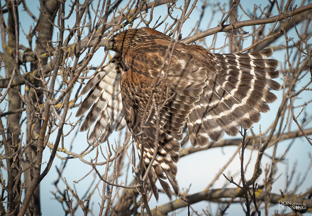 Red-shouldered Hawk Juvenile (Buteo lineatus)