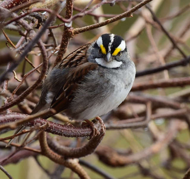 White throated Sparrow  Bruant à gorge blanche