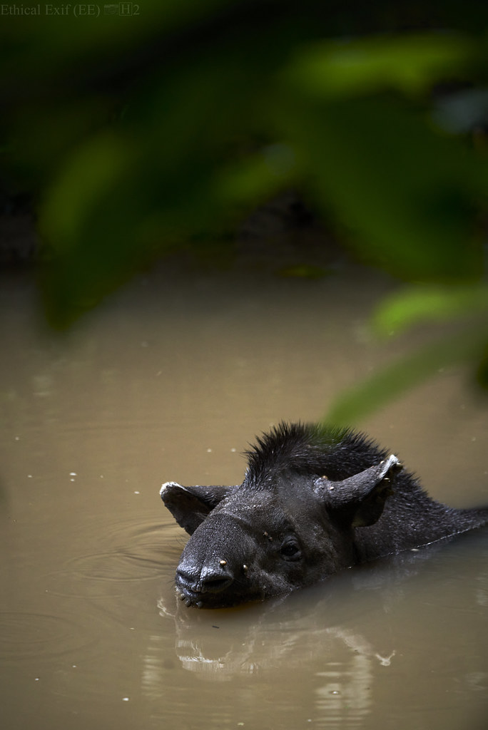 Bathing tapir (Tapirus terrestris)