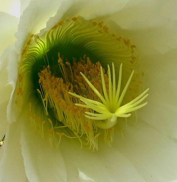 Closeup, flower of the San Pedro cactus (Echinopsis pachanoi), Gardens at Lake Merritt, Oakland's Lakeside Park, Oakland, CA, June 2019
