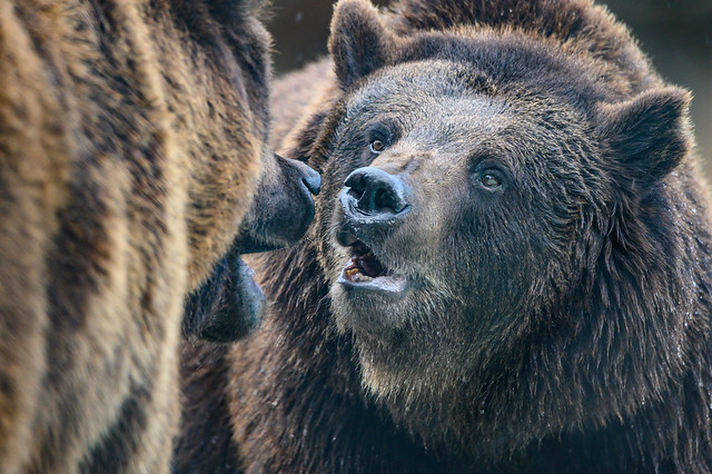 Bear Conversation