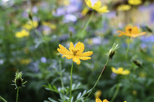 Yellow Cosmos after the rain