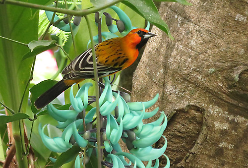An exotic orange bird on a blue tiger claw flower at the Botanical Garden in Puerto Vallarta, Mexico