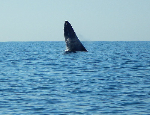 A grey whale emerges from the ocean on our whale watching boat in Puerto Escondido, Mexico