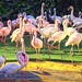 Pink flamingoes, Fort Worth Zoo, Dec. 24, 2019