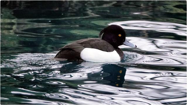 5 eyed duck
