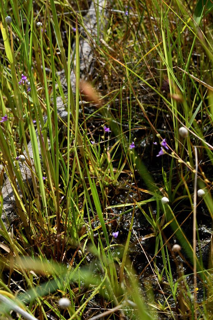 短梗挖耳草為一年生草本植物,與多種濕生植物混生,只有在開花時才容易見到