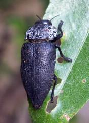 Capnodis tenebrionis 1 (14-7-07 Sestrica)