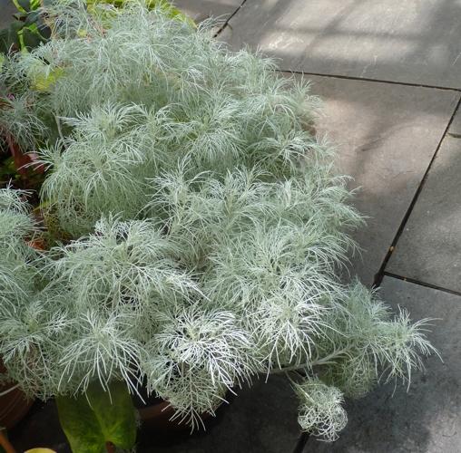 Artemisia mauiensis 49297852007_299b665803_o