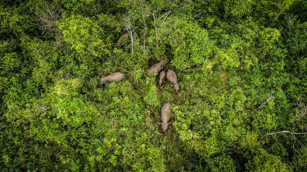 野象群在賽博科村的森林裡活動。該地位處巴東‧蘇吉汗‧賽博科保留區內,鄰近山碧朗國家森林。(攝影:Faizal Abdul Aziz/CIFOR)