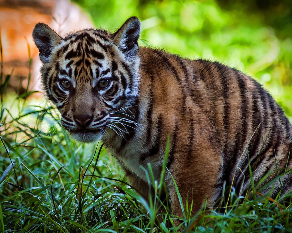 今日僅剩不到1千隻蘇門答臘虎生活在島上,最低的估計更只有 330隻。(照片來源:Steve Wilson-Wikimedia Commons, CC BY 2.0)