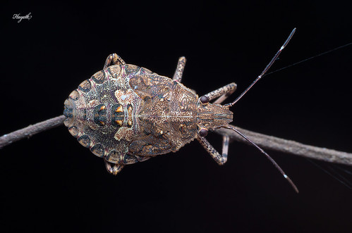Halymorpha sp, Marmorated stink bug | by walksthewildside